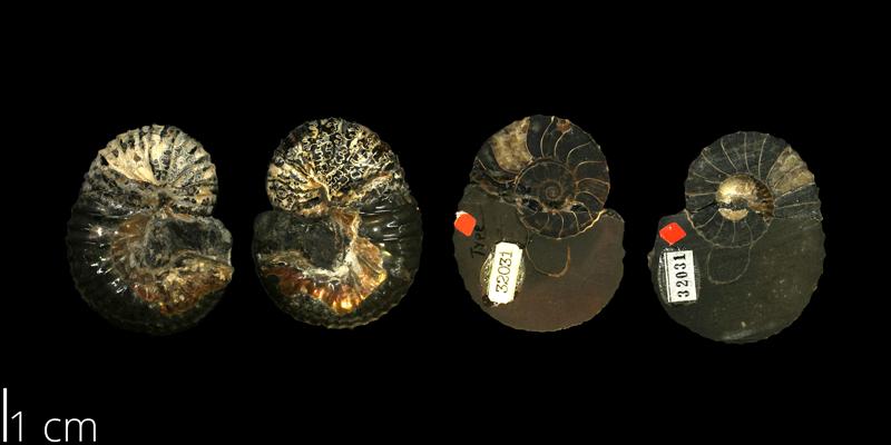 <i> Scaphites pygmaeus </i> from the Turonian Carlile Shale Fm. of Ellis County, Kansas (KUMIP 32031).