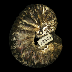 Scaphites pygmaeus