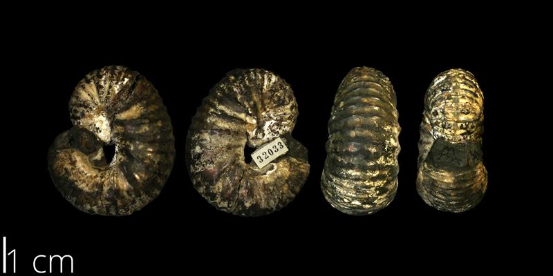 Holotype of <i> Scaphites pygmaeus </i> from the Turonian Carlile Shale Fm. of Ellis County, Kansas (KUMIP 32032).