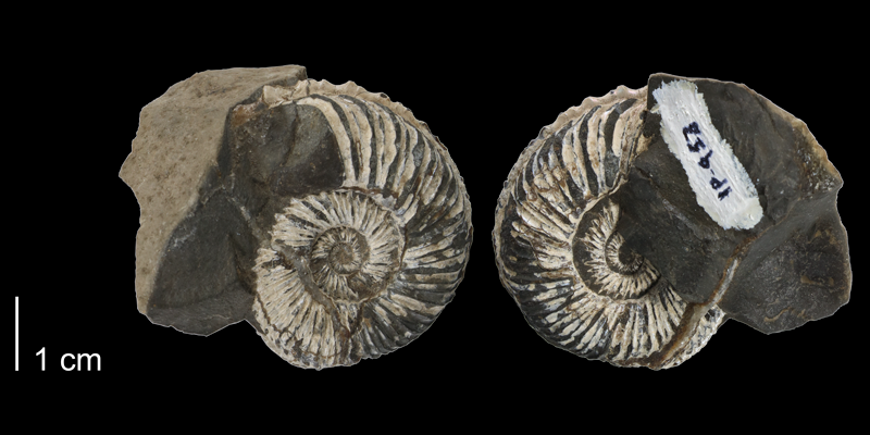 <i> Collignoniceras hyatti </i> (FHSM 953).