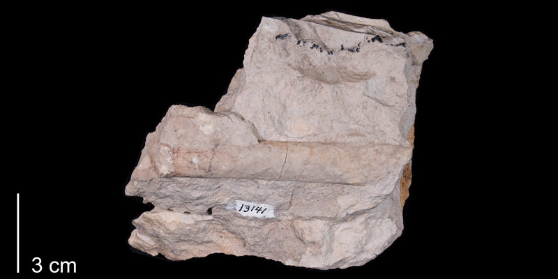 <i> Sciponoceras gracile </i> from the Late Cretaceous Greenhorn Fm. of Russell County, Kansas (FHSM 1629).
