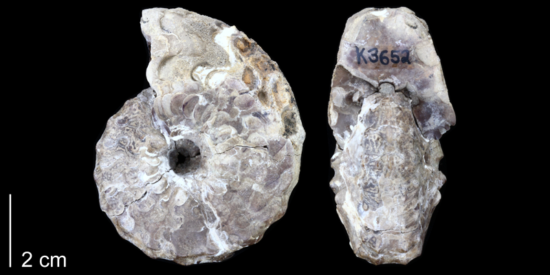<i> Spathites puercoensis </i> from the Late Cretaceous of Sandoval County, New Mexico (PRI 70328).