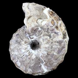 Spathites puercoensis