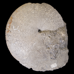 Sphenodiscus beecheri