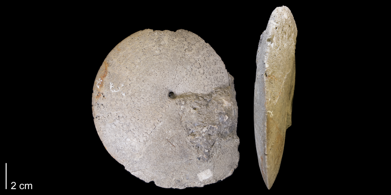 <i> Sphenodiscus beecheri </i> from the Late Cretaceous Pierre Shale of Bad Lands, South Dakota (YPM 27811).
