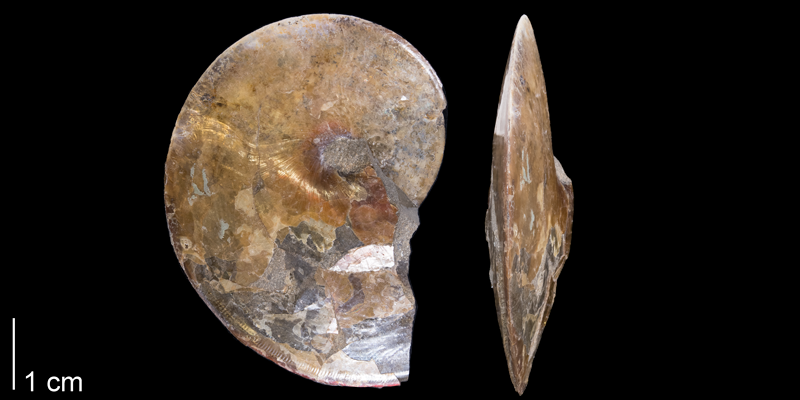 <i> Sphenodiscus lenticularis </i> from the Maastrichtian Fox Hills Fm. of Dewey County, South Dakota (YPM 44648).
