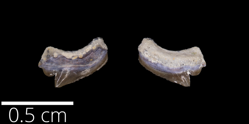 <i> Squalicorax falcatus </i> from the Late Cretaceous (FHSMVP 9407).
