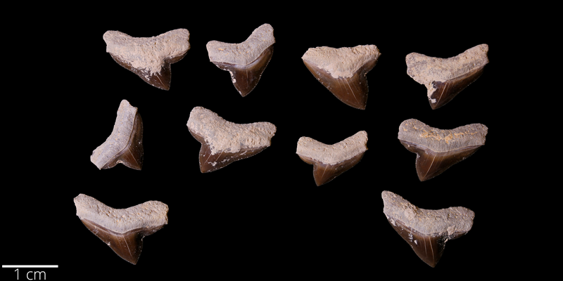 <i> Squalicorax falcatus </i> from the Late Cretaceous Niobrara Fm. of Kansas (YPM 059043).