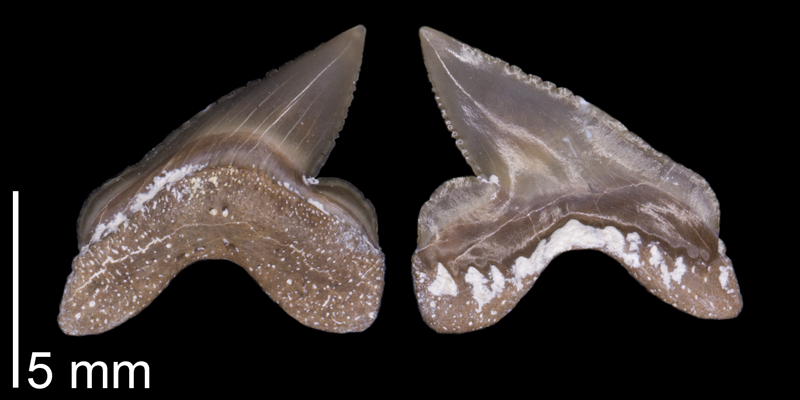 <i> Squalicorax volgensis </i> from the Turonian Graneros/Greenhorn Fm. of Russell County, Kansas (FHSMVP 14770).