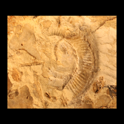 Stomohamites simplex