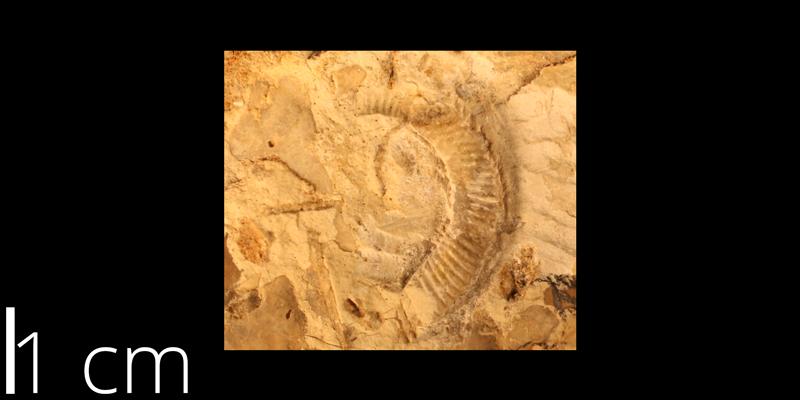 <i> Stomohamites simplex </i> from the Cenomanian Greenhorn Limestone Fm. of Hodgeman County, Kansas (KUMIP 82122).