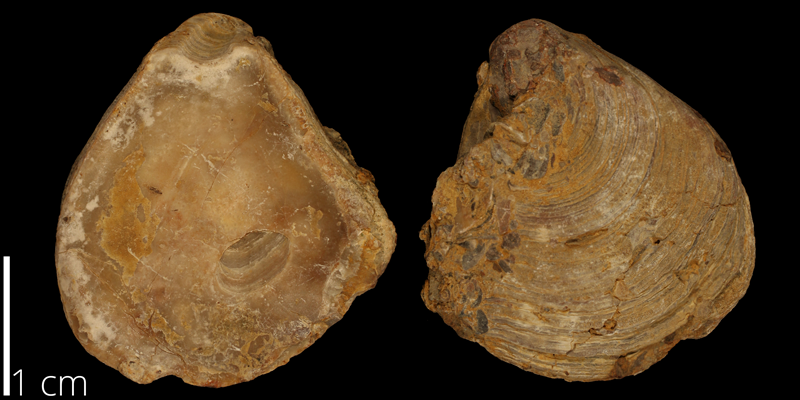 <i> Texigryphaea pitcheri </i> from the Albian Kiowa Fm. of Comanche County, Kansas (KUMIP 482837).