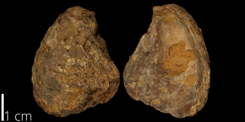 <i> Texigryphaea pitcheri </i> from the Albian Kiowa Fm. of Comanche County, Kansas (KUMIP 482842).