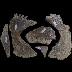Toxochelys latiremis