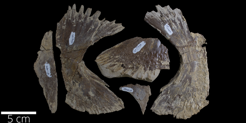 <i> Toxochelys latiremis </i> from the Late Cretaceous (FHSMVP 17432).