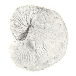 Trachyscaphites densicostatus
