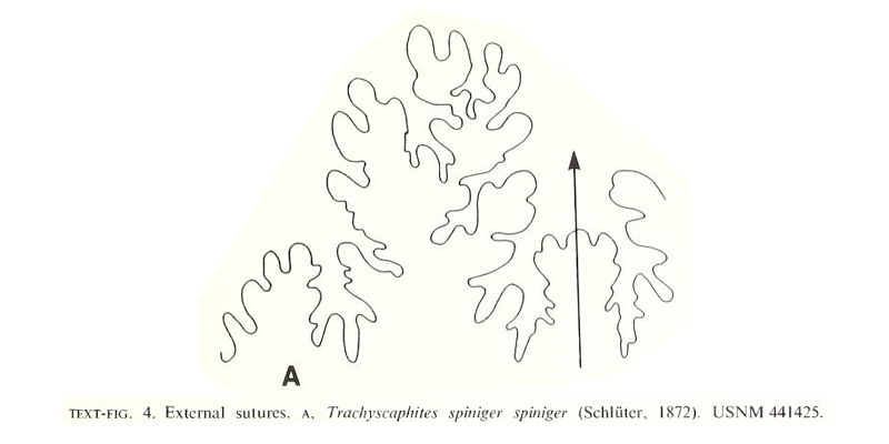<i> Trachyscaphites densicostatus </i> Cobban and Kennedy 1992.