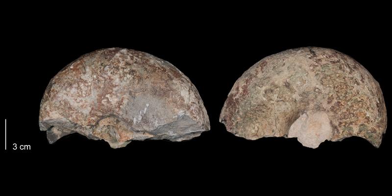 <i> Tragodesmoceras bassi </i> from the Greenhorn Fm. of Eagle County, Colorado (FHSM 1597).