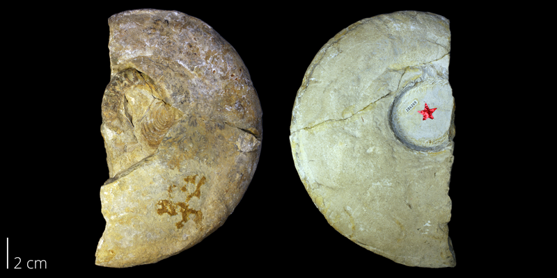 Holotype of <i> Tragodesmoceras bassi </i> from the Turonian Greenhorn Limestone Fm. of Lincoln County, Kansas (KUMIP 286269).