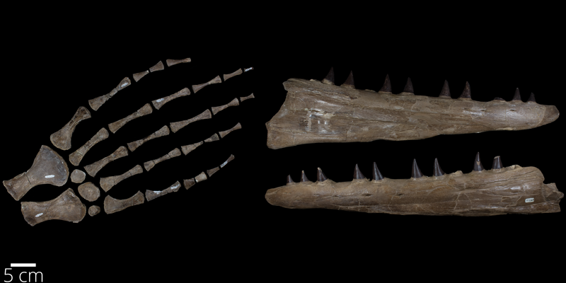 <i> Tylosaurus nepaeolicus </i> from the Late Cretaceous (FHSMVP 2209).