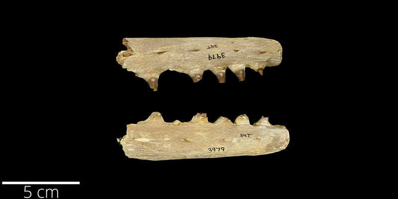 <i> Tylosaurus nepaeolicus </i> from the Late Cretaceous Niobrara Fm. of Gove County, Kansas (YPM 003979).