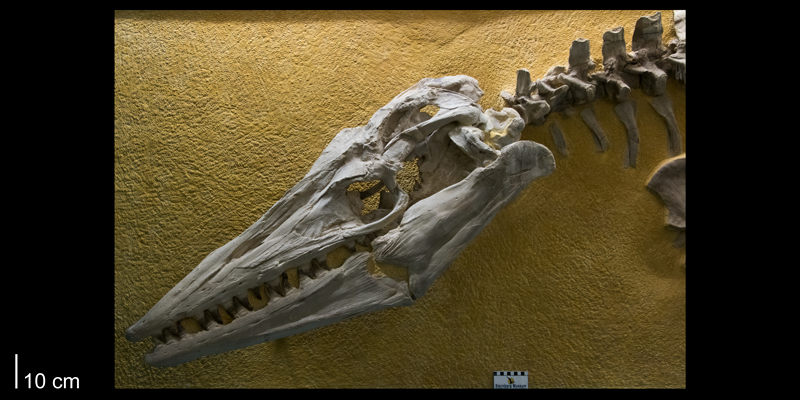 <i> Tylosaurus proriger </i> from the Late Cretaceous (FHSMVP 3).