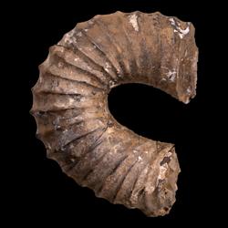 Didymoceras cochleatum