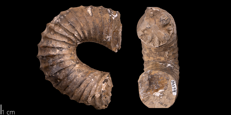 <i> Didymoceras cochleatum </i> from the Pierre Shale Fm. of South Dakota (YPM 86707).
