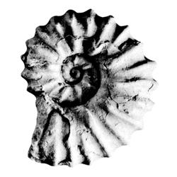 Acanthoceras barcusi