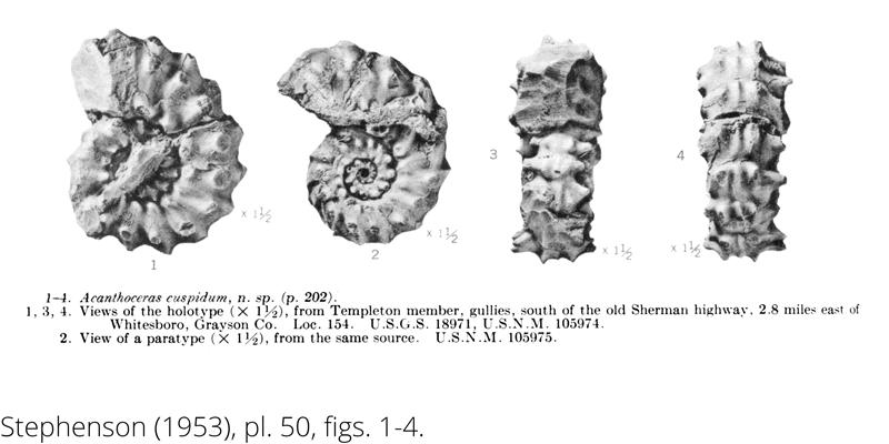 <i> Acanthoceras cuspidum </i> from the Cenomanian Woodbine Fm. of Texas (Stephenson 1953).