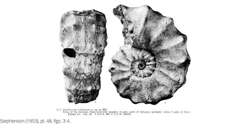 <i> Acanthoceras eulessanum </i> from the Cenomanian Woodbine Fm. of Texas (Stephenson 1953).