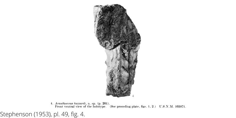 <i> Acanthoceras hazzardi </i> from the Cenomanian Woodbine Fm. of Texas (Stephenson 1953).