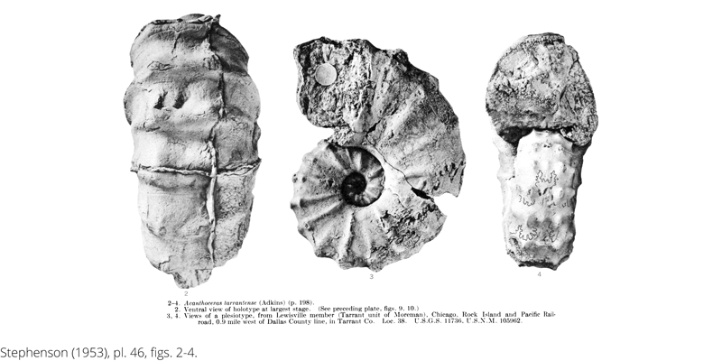 <i> Acanthoceras tarrantense </i> from the Cenomanian Woodbine Fm. of Texas (Stephenson 1953).