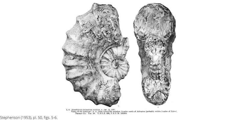 <i> Acanthoceras tarrantense nitidum </i> from the Cenomanian Woodbine Fm. of Texas (Stephenson 1953).