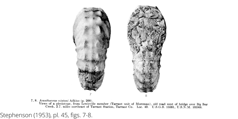 <i> Acanthoceras wintoni </i> from the Cenomanian Woodbine Fm. of Texas (Stephenson 1953).