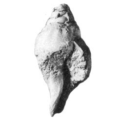 Aliofusus balaniformis