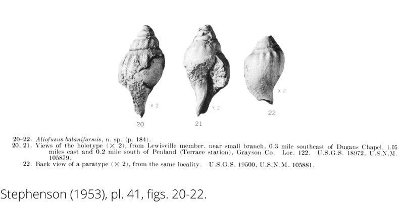 <i> Aliofusus balaniformis </i> from the Cenomanian Woodbine Fm. of Texas (Stephenson 1953).