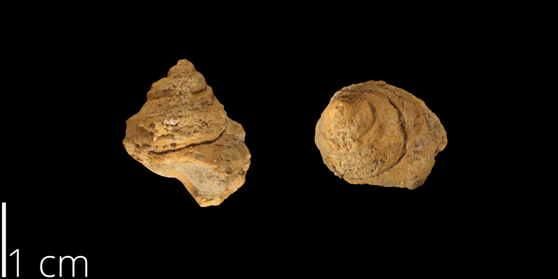 <i> Amberleya mudgeana </i> from the Albian Kiowa Fm. of McPherson County, Kansas (KUMIP 500321).