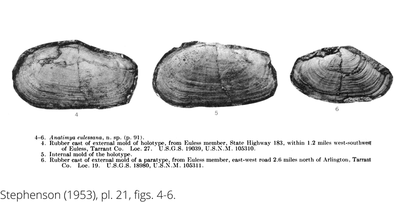 <i> Anatimya eulessana </i> from the Cenomanian Woodbine Fm. of Texas (Stephenson 1953).