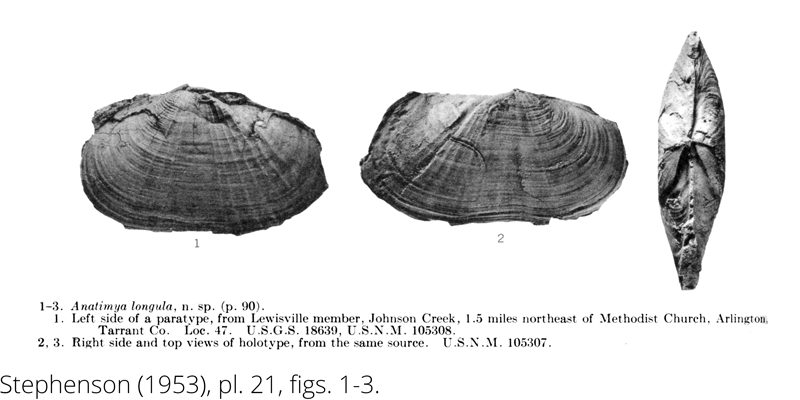 <i> Anatimya longula </i> from the Cenomanian Woodbine Fm. of Texas (Stephenson 1953).