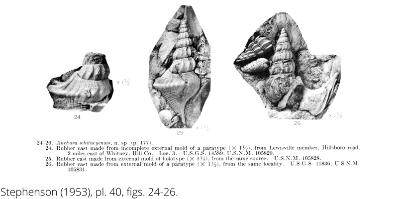 <i> Anchura whitneyensis </i> from the Cenomanian Woodbine Fm. of Texas (Stephenson 1953).