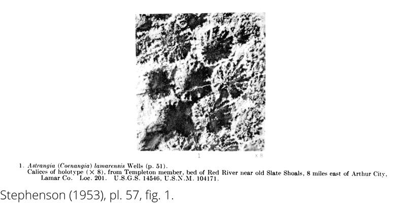<i> Astrangia lamarensis </i> from the Cenomanian Woodbine Fm. of Texas (Stephenson 1953).