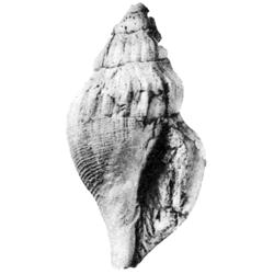 Bellfusus parvilirae