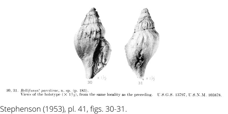 <i> Bellfusus parvilirae </i> from the Cenomanian Woodbine Fm. of Texas (Stephenson 1953).
