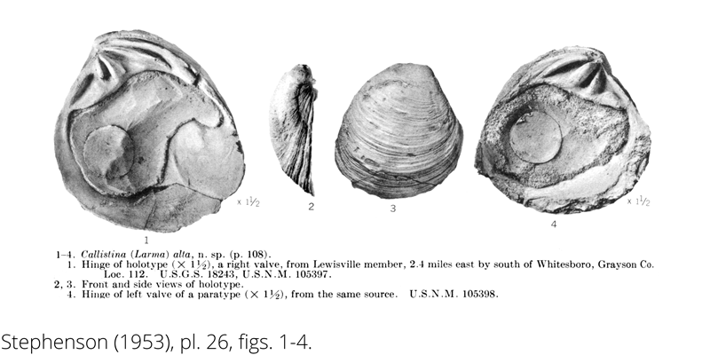 <i> Callistina alta </i> from the Cenomanian Woodbine Fm. of Texas (Stephenson 1953).