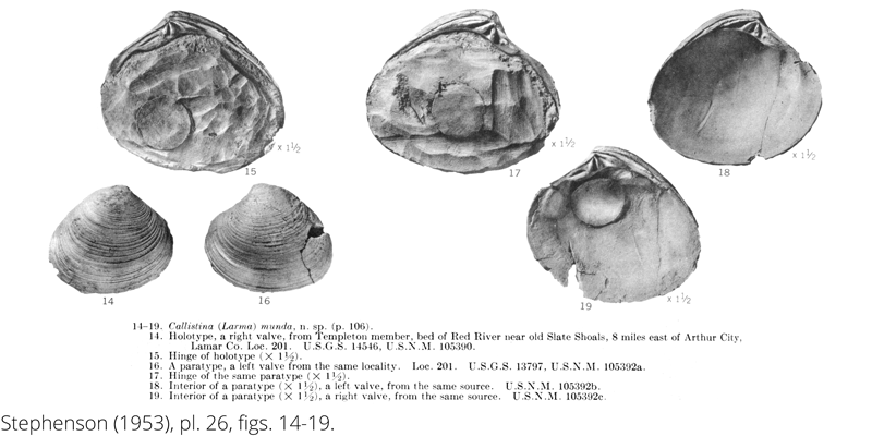 <i> Callistina munda </i> from the Cenomanian Woodbine Fm. of Texas (Stephenson 1953).