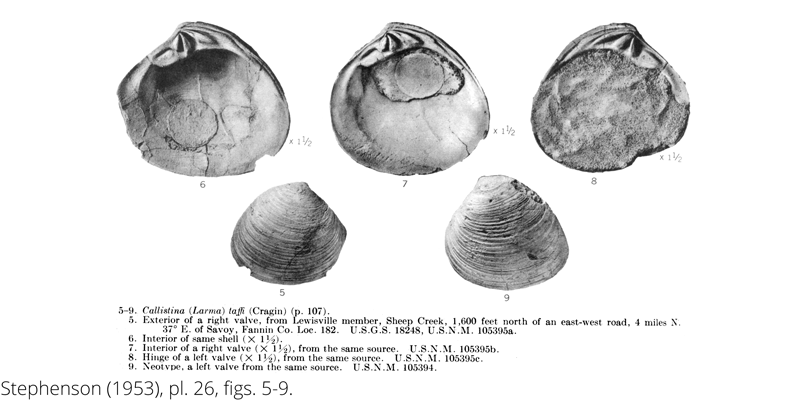 <i> Callistina taffi </i> from the Cenomanian Woodbine Fm. of Texas (Stephenson 1953).