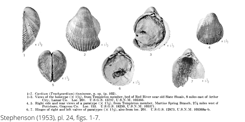 <i> Cardium tinninense </i> from the Cenomanian Woodbine Fm. of Texas (Stephenson 1953).