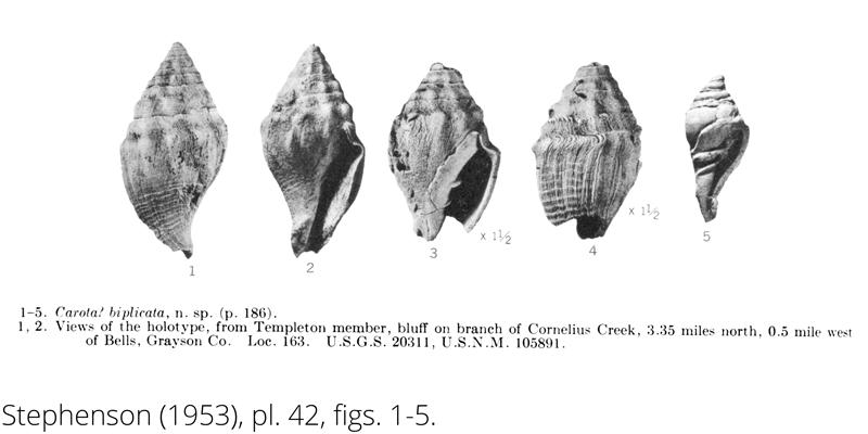 <i> Carota biplicata </i> from the Cenomanian Woodbine Fm. of Texas (Stephenson 1953).