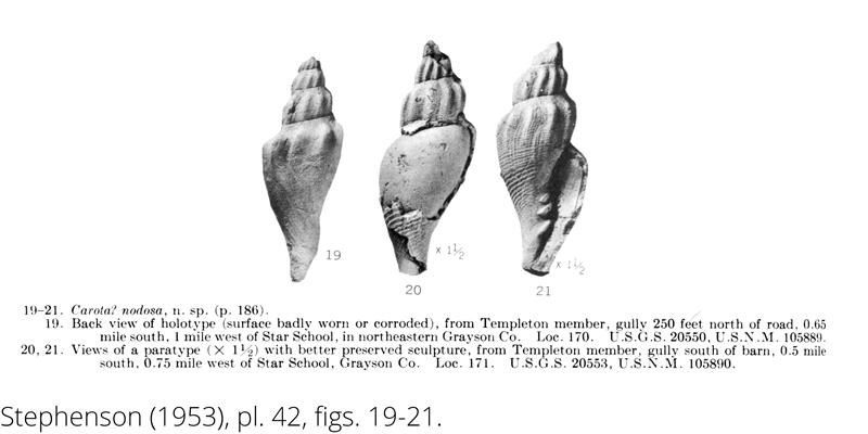 <i> Carota nodosa </i> from the Cenomanian Woodbine Fm. of Texas (Stephenson 1953).